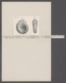 Ammonites parkinsoni bifurcatus - - Print - Iconographia Zoologica - Special Collections University of Amsterdam - UBAINV0274 091 01 0057.tif