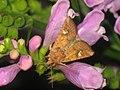 Amphipoea fucosa lucens oculea - Ear moth - Совка яровая (41065488752).jpg