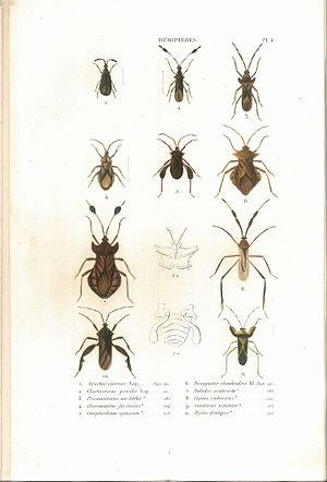 Suites à Buffon - Image: Amyot C.J.B.1843 Histoire naturelle des insectes. Hemipteres. Planche IV