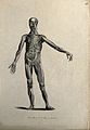 An écorché figure with left arm extended, seen from the fron Wellcome V0008200ER.jpg