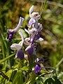 Anacamptis longicornu (pale flower).jpg