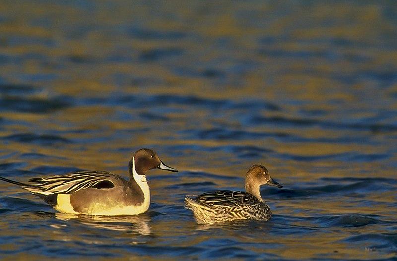 Canard pilet photo Wiki
