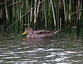 Anas georgica Pato piquidorado Yellow-billed Pintail (17194282105).jpg