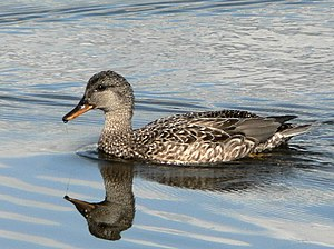 Coues's gadwall - Female common gadwall. Streets' Washington Island specimens differed only in minor details (see text).
