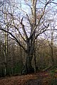 Ancient Beech Tree in Burnt Bank Wood - geograph.org.uk - 1593423.jpg