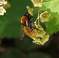 Andrena fulva 02.jpg