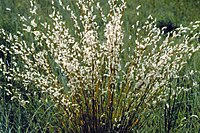 Andropogon scoparius.jpg