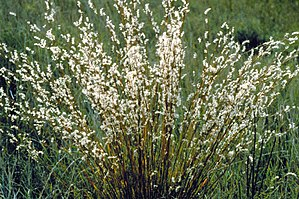 Schizachyrium scoparium - Mature seed heads