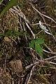 Anemone lyallii 2059.JPG