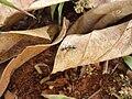 Ant on a dried leaf2.JPG