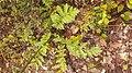 Anthemis cotula leaf (01).jpg