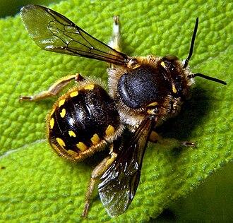 Megachilidae - Male European wool carder bee, Anthidium manicatum