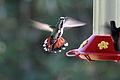 Anthracothorax prevostii female in flight.jpg