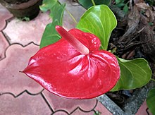 Anthurium of Tamilnadu.jpg