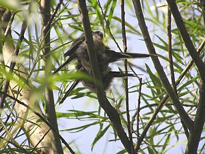 Long-tailed tit - Long-tailed tits resting, mid-afternoon in energy saving anti-parallel paired formation in a willow