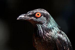 Metallic starling - Male at San Diego Zoo, California, USA