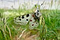 Apollo (Parnassius apollo) (35708421205).jpg