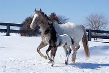 a brown mare with a white rump running alongside her baby foal, who is black with a white rump