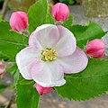 Apple blossom - Flickr - Stiller Beobachter (2).jpg