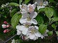 Apple blossoms, Sault Ste Marie 1.JPG