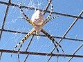 Araña de jardín (Ags., México) 07.jpg