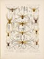 Arachnida Araneidea Vol 1 Table 22.jpg