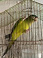 Aratinga canicularis -caged in Mexico.jpg