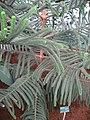 Araucaria Muelleri.Serres d'Auteuil 002.jpg