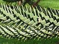 Araucaria araucana4.jpg