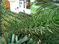 Araucaria rulei, Royal Botanic Garden Edinburgh, United Kingdom.JPG