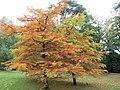 Arboretum de Bagnoles - Cyprès chauve.jpg