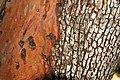 Arbutus menziesii (Pacific madrone tree) (near Calistoga, California, USA) 5 (49094973926).jpg