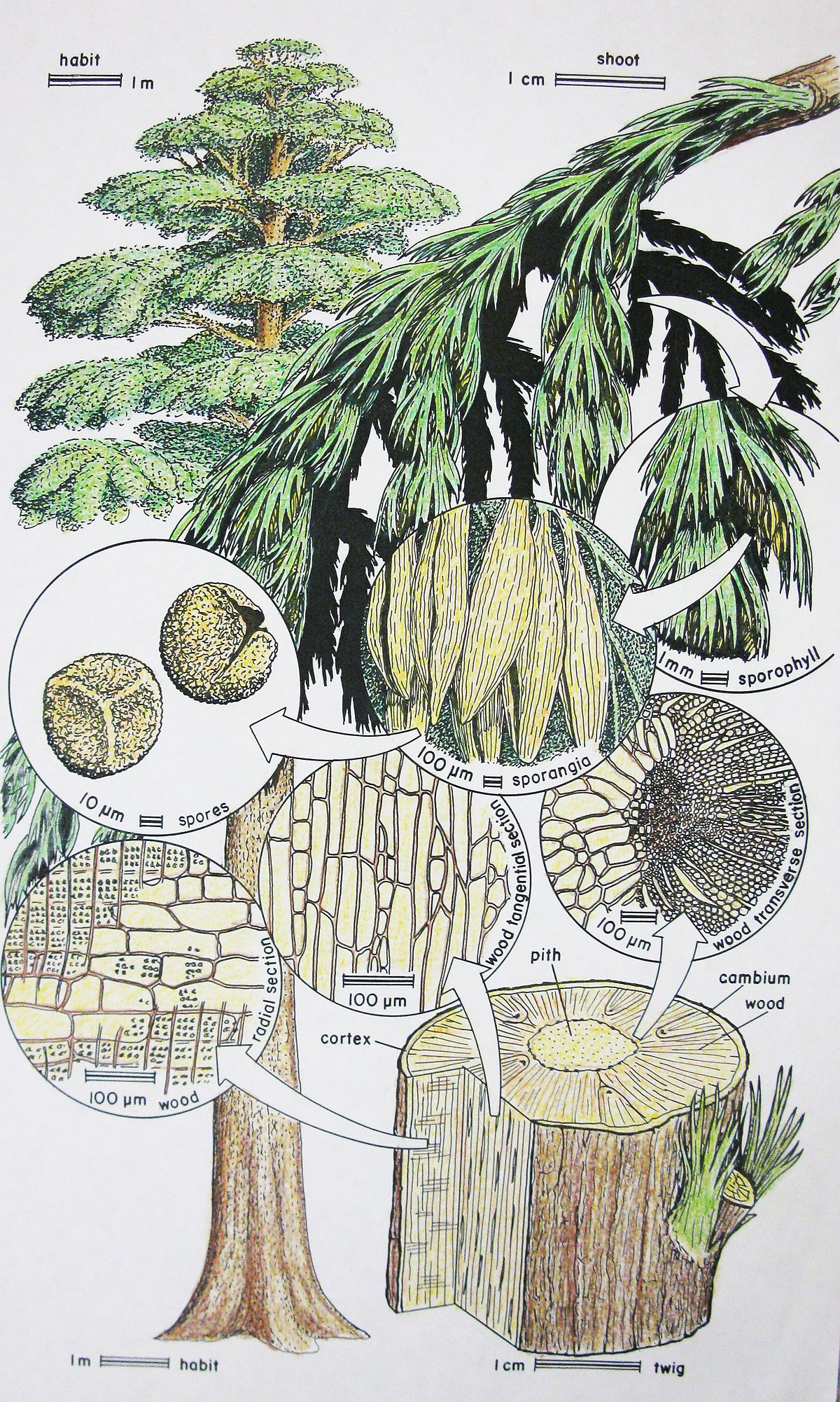 archaeopteridaceae