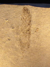 Archaeopteryx (Feather).jpg