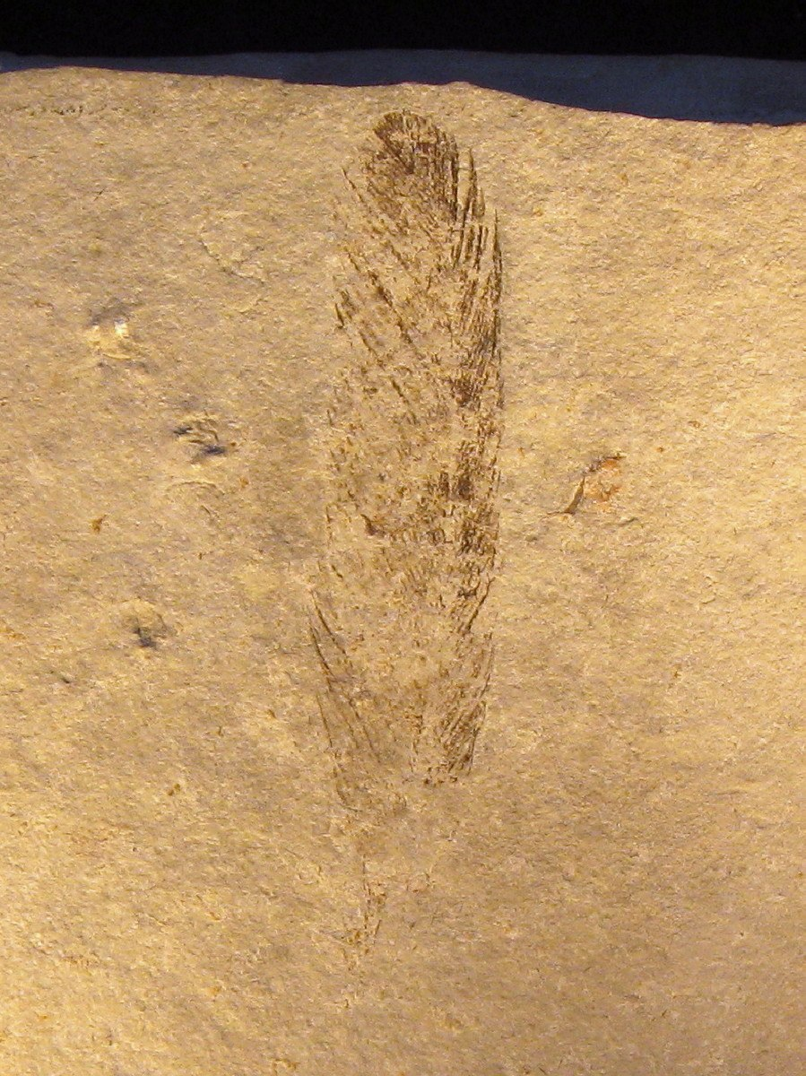 Archaeopteryx (Feather)