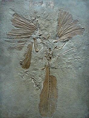 Archaeopteryx, Londoner Exemplar mit gut erhaltenen Federn