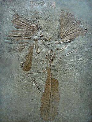 Archeopteryx, London specimen with well-preserved feathers