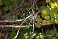Argiope buernichii - pareja 04 (4922276311).jpg