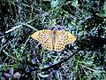 Argynnis paphia sp..jpg
