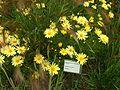 Argyranthemum frutescens (Reykjavík BG).jpg