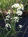 Armoracia rusticana sl4.jpg