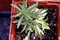 Artemisia dracunculus 16zz.jpg