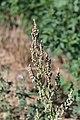 Artemisia vulgaris flowers.jpg