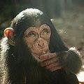 Artis Toddler chimpanzee Shangwe eats a hazelnut - Artis Royal Zoo (10037667855).jpg