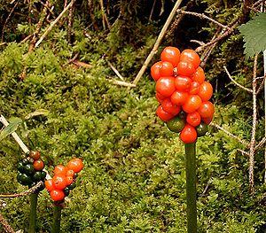 Arum maculatum - Poisonous berries