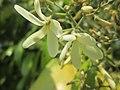 Arya.vatica pauciflora.taman kuning.2019.jpg