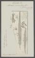 Ascaris vesicularis - - Print - Iconographia Zoologica - Special Collections University of Amsterdam - UBAINV0274 104 03 0007.tif