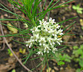 Asclepias linaria, the Pineneedle Milkweed (9145359448).jpg