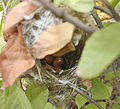 Ashy Prinia (Prinia socialis) nest- eggs in West Indian Elm (Guazuma ulmifolia) in Hyderabad, AP W IMG 7496.jpg
