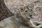Asiatic lion(ess), Karnataka, India.jpg